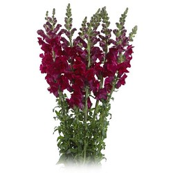 Snapdragons Purple 10 Bunches