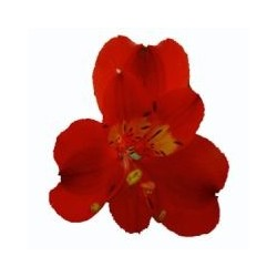 Alstromeria Red 10 Bunches