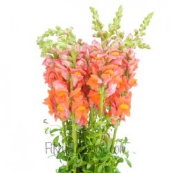 Snapdragons Orange 10 Bunches