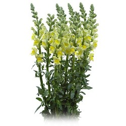 Snapdragons Yellow 10 Bunches