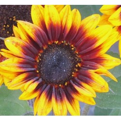 Sunflower Firewalker 60 Stems