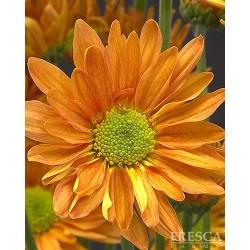 Daisy Butterscotch 12 Bunches