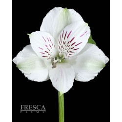 Alstromeria White 10 Bunches