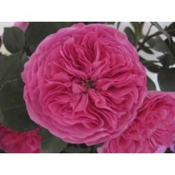 Pink Garden Rose Baronesse 72 Stems