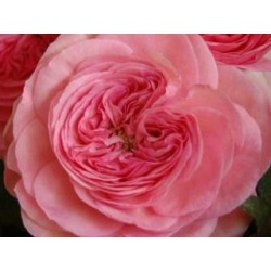 Pink Garden Rose Maria Theresia 72 Stems