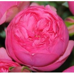 Pink Piano Garden Rose 72 Stems