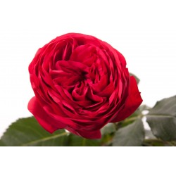 Red Piano Garden Rose 72 Stems