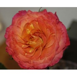 Sunset Garden Rose 72 Stems