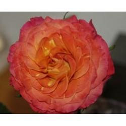 Sunset Garden Rose 72 Stems