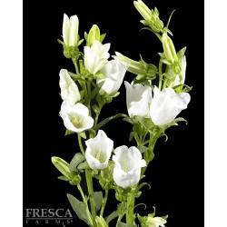 Campanula White 15 Bunches