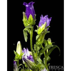 Campanula Purple 15 Bunches