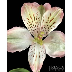 Alstromeria Peach 10 Bunches