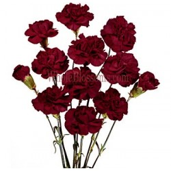 Mini Carnations Burgundy 15 Bunches