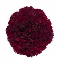 Carnations Burgundy 150 Stems