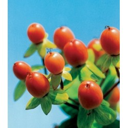 Hypericum Orange 15 Bunches