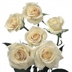 Spray Rose Cream 10 Bunches