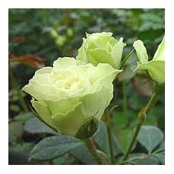 Spray Rose Green 10 Bunches
