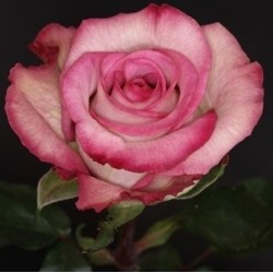 Classic Cezanne Pink Roses 100 Stems