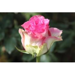 Malibu Pink Roses 100 Stems