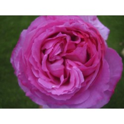 Yves Piaget Hot PInk Garden Rose 72 Stems
