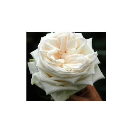 White Ohara Garden Rose 72 Stems