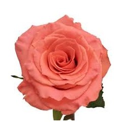Amsterdam Roses 100 Stems