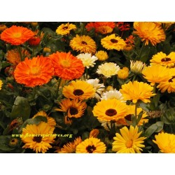Calendula 12 Bunches