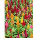 Celosia Feather 10 Bunches