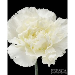 Carnations White 150 Stems