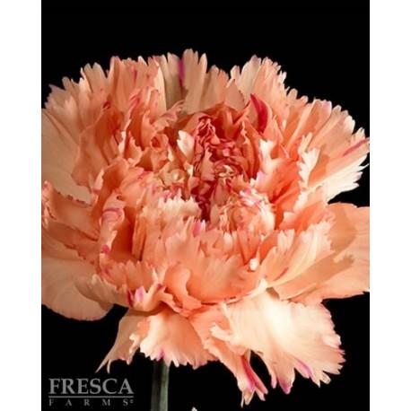 Carnations Orange 150 Stems