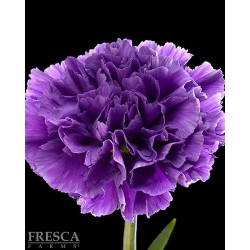 Florigene Moonshade 140/160 Stems