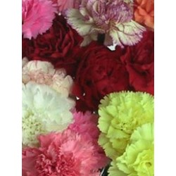 Carnations Nov. Assorted 150 Stems