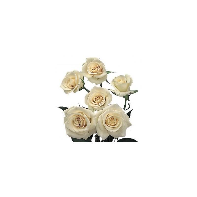 spray rose cream 10 bunches - Cream Garden Rose