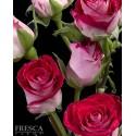 Bi Color PInk Roses