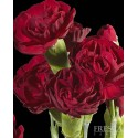 Solid Color Pack Mini Carnations