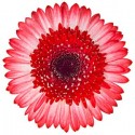 Bi Color Gerbera Daisy