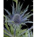 Thistle (Eryngium)