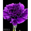 "Purple FLORIGENE Carnations ""Moon Series"""