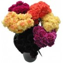 Carnations Assorted