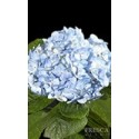 Hydrangea Blue/White/Assorted