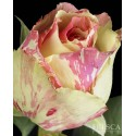Novelty Roses
