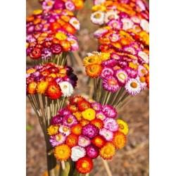 Strawflower 10 Bunches