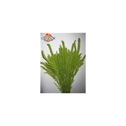 Amaranthus Upright 10 Bunches