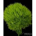Green Trick Dianthus